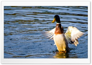 Duck In Water HD Wide Wallpaper for Widescreen
