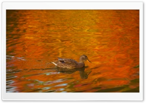 Duck, Lake, Autumn HD Wide Wallpaper for Widescreen