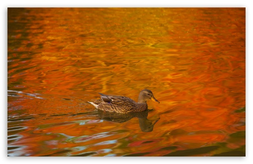 Duck, Lake, Autumn ❤ 4K UHD Wallpaper for Wide 16:10 5:3 Widescreen WHXGA WQXGA WUXGA WXGA WGA ; 4K UHD 16:9 Ultra High Definition 2160p 1440p 1080p 900p 720p ; UHD 16:9 2160p 1440p 1080p 900p 720p ; Standard 4:3 5:4 3:2 Fullscreen UXGA XGA SVGA QSXGA SXGA DVGA HVGA HQVGA ( Apple PowerBook G4 iPhone 4 3G 3GS iPod Touch ) ; Smartphone 5:3 WGA ; Tablet 1:1 ; iPad 1/2/Mini ; Mobile 4:3 5:3 3:2 16:9 5:4 - UXGA XGA SVGA WGA DVGA HVGA HQVGA ( Apple PowerBook G4 iPhone 4 3G 3GS iPod Touch ) 2160p 1440p 1080p 900p 720p QSXGA SXGA ; Dual 16:10 5:3 16:9 4:3 5:4 WHXGA WQXGA WUXGA WXGA WGA 2160p 1440p 1080p 900p 720p UXGA XGA SVGA QSXGA SXGA ;