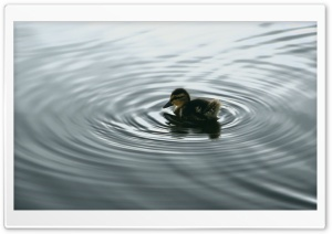 Duckling On Water HD Wide Wallpaper for Widescreen