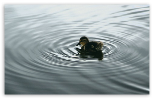 Duckling On Water HD wallpaper for Wide 16:10 5:3 Widescreen WHXGA WQXGA WUXGA WXGA WGA ; HD 16:9 High Definition WQHD QWXGA 1080p 900p 720p QHD nHD ; Standard 4:3 5:4 3:2 Fullscreen UXGA XGA SVGA QSXGA SXGA DVGA HVGA HQVGA devices ( Apple PowerBook G4 iPhone 4 3G 3GS iPod Touch ) ; Tablet 1:1 ; iPad 1/2/Mini ; Mobile 4:3 5:3 3:2 16:9 5:4 - UXGA XGA SVGA WGA DVGA HVGA HQVGA devices ( Apple PowerBook G4 iPhone 4 3G 3GS iPod Touch ) WQHD QWXGA 1080p 900p 720p QHD nHD QSXGA SXGA ;
