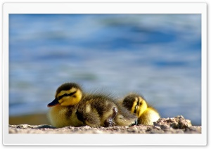 Ducklings Close Up HD Wide Wallpaper for Widescreen