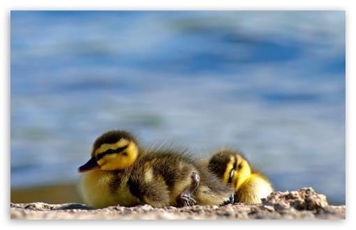 Ducklings Close Up HD wallpaper for Wide 16:10 5:3 Widescreen WHXGA WQXGA WUXGA WXGA WGA ; HD 16:9 High Definition WQHD QWXGA 1080p 900p 720p QHD nHD ; Standard 4:3 5:4 3:2 Fullscreen UXGA XGA SVGA QSXGA SXGA DVGA HVGA HQVGA devices ( Apple PowerBook G4 iPhone 4 3G 3GS iPod Touch ) ; Tablet 1:1 ; iPad 1/2/Mini ; Mobile 4:3 5:3 3:2 16:9 5:4 - UXGA XGA SVGA WGA DVGA HVGA HQVGA devices ( Apple PowerBook G4 iPhone 4 3G 3GS iPod Touch ) WQHD QWXGA 1080p 900p 720p QHD nHD QSXGA SXGA ;