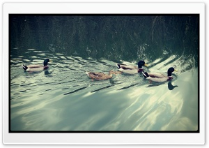 Ducks HD Wide Wallpaper for Widescreen