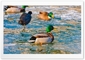 Ducks On Frozen Water HD Wide Wallpaper for Widescreen