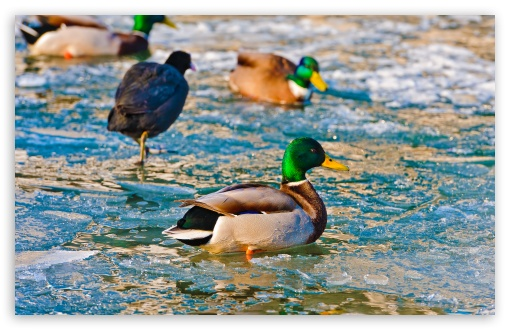 Ducks On Frozen Water HD wallpaper for Standard 4:3 5:4 Fullscreen UXGA XGA SVGA QSXGA SXGA ; Wide 16:10 5:3 Widescreen WHXGA WQXGA WUXGA WXGA WGA ; HD 16:9 High Definition WQHD QWXGA 1080p 900p 720p QHD nHD ; Other 3:2 DVGA HVGA HQVGA devices ( Apple PowerBook G4 iPhone 4 3G 3GS iPod Touch ) ; Mobile VGA WVGA iPhone iPad PSP Phone - VGA QVGA Smartphone ( PocketPC GPS iPod Zune BlackBerry HTC Samsung LG Nokia Eten Asus ) WVGA WQVGA Smartphone ( HTC Samsung Sony Ericsson LG Vertu MIO ) HVGA Smartphone ( Apple iPhone iPod BlackBerry HTC Samsung Nokia ) Sony PSP Zune HD Zen ; Tablet 2 Android 3 DVGA HVGA HQVGA devices ( Apple PowerBook G4 iPhone 4 3G 3GS iPod Touch ) ; Dual 4:3 5:4 16:10 5:3 16:9 UXGA XGA SVGA QSXGA SXGA WHXGA WQXGA WUXGA WXGA WGA WQHD QWXGA 1080p 900p 720p QHD nHD ;