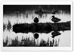 Ducks Settling Down For The Night HD Wide Wallpaper for Widescreen
