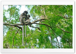 Dusky Leaf Monkeys HD Wide Wallpaper for Widescreen