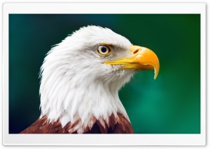 Eagle HD Wide Wallpaper for Widescreen