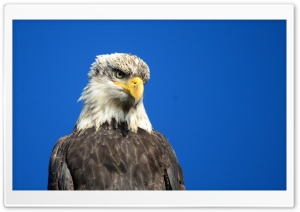 Eagle Eye HD Wide Wallpaper for Widescreen