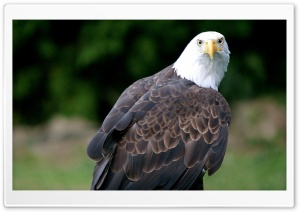 Eagle Looking HD Wide Wallpaper for Widescreen
