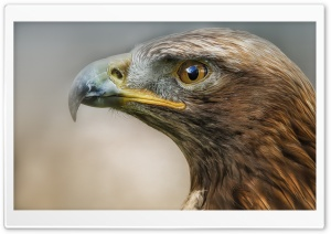 Eagle Macro Predator Bird HD Wide Wallpaper for Widescreen