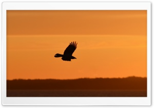 Eagle Silhouette HD Wide Wallpaper for 4K UHD Widescreen desktop & smartphone