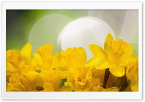Easter Daffodils Flowers Spring HD Wide Wallpaper for 4K UHD Widescreen desktop & smartphone