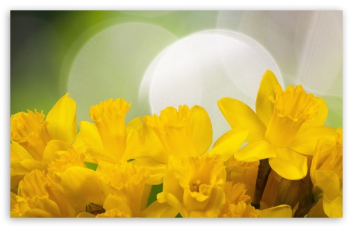 Easter Daffodils Flowers Spring ❤ 4K UHD Wallpaper for Wide 16:10 5:3 Widescreen WHXGA WQXGA WUXGA WXGA WGA ; 4K UHD 16:9 Ultra High Definition 2160p 1440p 1080p 900p 720p ; UHD 16:9 2160p 1440p 1080p 900p 720p ; Standard 4:3 5:4 3:2 Fullscreen UXGA XGA SVGA QSXGA SXGA DVGA HVGA HQVGA ( Apple PowerBook G4 iPhone 4 3G 3GS iPod Touch ) ; Smartphone 5:3 WGA ; Tablet 1:1 ; iPad 1/2/Mini ; Mobile 4:3 5:3 3:2 16:9 5:4 - UXGA XGA SVGA WGA DVGA HVGA HQVGA ( Apple PowerBook G4 iPhone 4 3G 3GS iPod Touch ) 2160p 1440p 1080p 900p 720p QSXGA SXGA ; Dual 16:10 5:3 16:9 4:3 5:4 WHXGA WQXGA WUXGA WXGA WGA 2160p 1440p 1080p 900p 720p UXGA XGA SVGA QSXGA SXGA ;