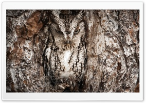 Eastern Screech Owl, Georgia HD Wide Wallpaper for Widescreen