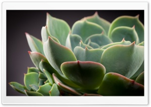 Echeveria Cactus HD Wide Wallpaper for Widescreen