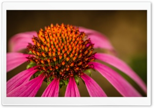 Echinacea HD Wide Wallpaper for Widescreen