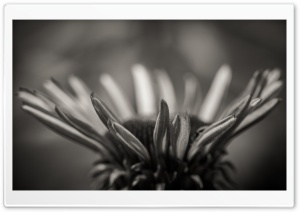 Echinacea Black and White HD Wide Wallpaper for Widescreen