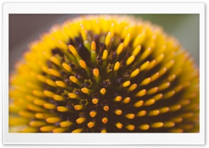 Echinacea Head HD Wide Wallpaper for Widescreen