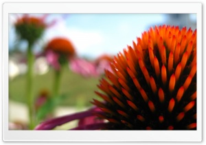 Echinacea In The Summer HD Wide Wallpaper for Widescreen