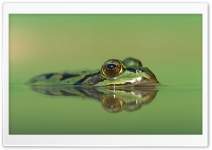 Edible Frog Germany Rana Esculenta HD Wide Wallpaper for 4K UHD Widescreen desktop & smartphone