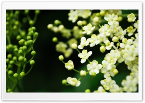 Elderflower HD Wide Wallpaper for Widescreen