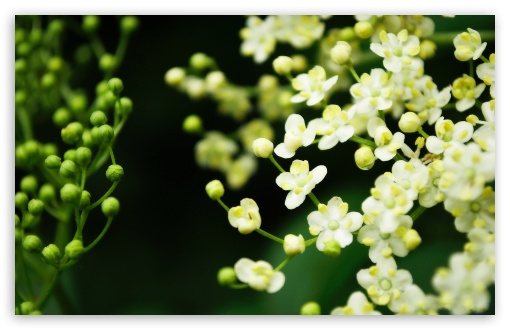 Elderflower ❤ 4K UHD Wallpaper for Wide 16:10 5:3 Widescreen WHXGA WQXGA WUXGA WXGA WGA ; 4K UHD 16:9 Ultra High Definition 2160p 1440p 1080p 900p 720p ; Standard 4:3 5:4 3:2 Fullscreen UXGA XGA SVGA QSXGA SXGA DVGA HVGA HQVGA ( Apple PowerBook G4 iPhone 4 3G 3GS iPod Touch ) ; Tablet 1:1 ; iPad 1/2/Mini ; Mobile 4:3 5:3 3:2 16:9 5:4 - UXGA XGA SVGA WGA DVGA HVGA HQVGA ( Apple PowerBook G4 iPhone 4 3G 3GS iPod Touch ) 2160p 1440p 1080p 900p 720p QSXGA SXGA ;