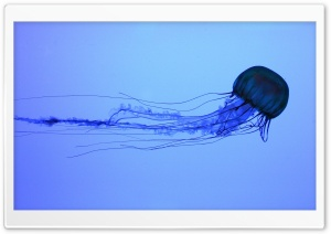 Electric Jellyfish Swimming Ultra HD Wallpaper for 4K UHD Widescreen desktop, tablet & smartphone