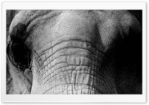 Elephant Face HD Wide Wallpaper for Widescreen