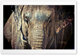 Elephant Trunk HD Wide Wallpaper for Widescreen