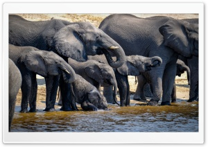 Elephants Drinking Water, Wild Animals Ultra HD Wallpaper for 4K UHD Widescreen desktop, tablet & smartphone