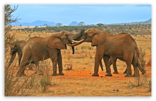 Elephants Fighting HD wallpaper for Standard 4:3 Fullscreen UXGA XGA SVGA ; Wide 16:10 5:3 Widescreen WHXGA WQXGA WUXGA WXGA WGA ; HD 16:9 High Definition WQHD QWXGA 1080p 900p 720p QHD nHD ; Other 3:2 DVGA HVGA HQVGA devices ( Apple PowerBook G4 iPhone 4 3G 3GS iPod Touch ) ; Mobile VGA WVGA iPhone iPad PSP - VGA QVGA Smartphone ( PocketPC GPS iPod Zune BlackBerry HTC Samsung LG Nokia Eten Asus ) WVGA WQVGA Smartphone ( HTC Samsung Sony Ericsson LG Vertu MIO ) HVGA Smartphone ( Apple iPhone iPod BlackBerry HTC Samsung Nokia ) Sony PSP Zune HD Zen ; Dual 4:3 5:4 UXGA XGA SVGA QSXGA SXGA ;