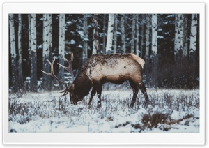 Elk in Snow, Winter HD Wide Wallpaper for 4K UHD Widescreen desktop & smartphone