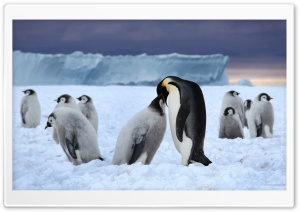 Emperor Penguin Ultra HD Wallpaper for 4K UHD Widescreen desktop, tablet & smartphone