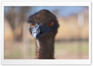Emu Love HD Wide Wallpaper for 4K UHD Widescreen desktop & smartphone