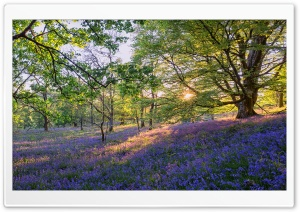 English Bluebells Flowers HD Wide Wallpaper for Widescreen