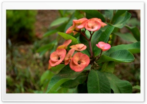 Euphorbia HD Wide Wallpaper for Widescreen