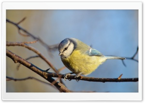 Eurasian Blue Tit HD Wide Wallpaper for Widescreen