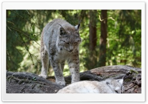Eurasian Lynx, Eurasischer Luchs HD Wide Wallpaper for Widescreen