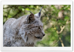 Eurasian Lynx, Eurasischer Luchs HD Wide Wallpaper for 4K UHD Widescreen desktop & smartphone