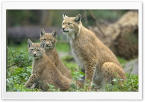 Eurasian Lynx Lynx Lynx With Cubs Muenster Germany HD Wide Wallpaper for Widescreen