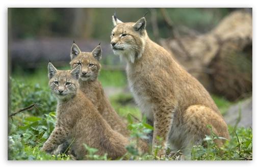 eurasian_lynx_lynx_lynx_with_cubs_muenst