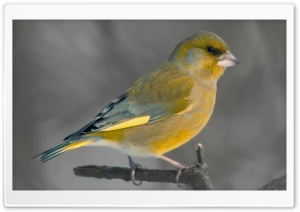 European Greenfinch HD Wide Wallpaper for Widescreen