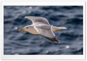 European Gull, Silbermve HD Wide Wallpaper for Widescreen