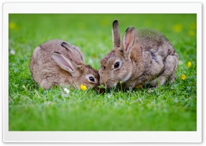 European Rabbits Pair HD Wide Wallpaper for Widescreen