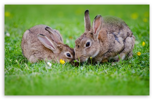 European Rabbits Pair ❤ 4K UHD Wallpaper for Wide 16:10 5:3 Widescreen WHXGA WQXGA WUXGA WXGA WGA ; 4K UHD 16:9 Ultra High Definition 2160p 1440p 1080p 900p 720p ; Standard 4:3 5:4 3:2 Fullscreen UXGA XGA SVGA QSXGA SXGA DVGA HVGA HQVGA ( Apple PowerBook G4 iPhone 4 3G 3GS iPod Touch ) ; Tablet 1:1 ; iPad 1/2/Mini ; Mobile 4:3 5:3 3:2 16:9 5:4 - UXGA XGA SVGA WGA DVGA HVGA HQVGA ( Apple PowerBook G4 iPhone 4 3G 3GS iPod Touch ) 2160p 1440p 1080p 900p 720p QSXGA SXGA ;