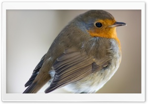 European Robin HD Wide Wallpaper for Widescreen
