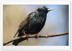European Starling HD Wide Wallpaper for Widescreen
