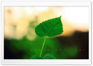 Evergreen Leaf HD Wide Wallpaper for Widescreen